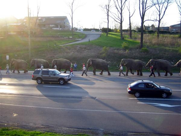 Circus Elephants on College Ave. by 