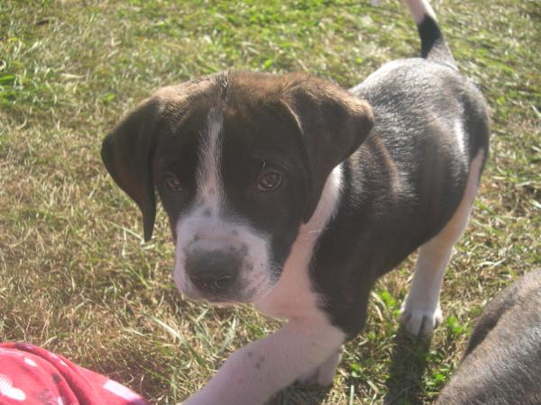 Fred St Bernard/English Mastiff Mix 8 weeks old Male in Past Adopted