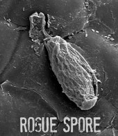 Photo of ROGUE SPORE